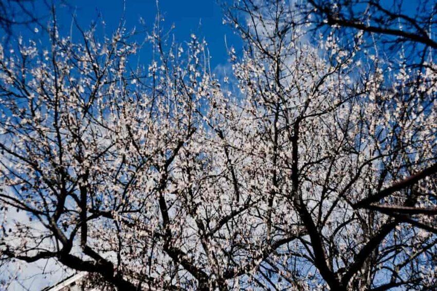 Drzewa wiosną